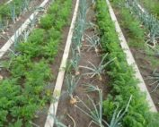 Carrots and onions interplanted